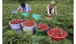 Read more: 900 locuri de muncă în domeniul agricol (recoltare fructe) în Spania