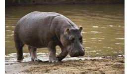 Read more: Respect pentru hipopotam...