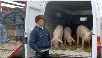f_350_200_16777215_00_images_banner5_transport-ilegal-porci.jpg